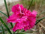 Dianthus from Sayada, Tunisia 2010.jpg