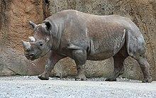 Rhinocerontidae