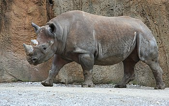 Male Diceros bicornis (Black rhinoceros or Hoo...