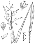 Dichanthelium oligosanthes (as Panicum scribnerianum) BB-1913.png