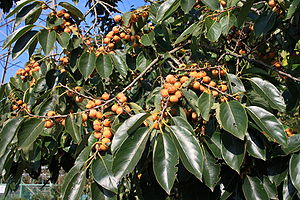 Date-plum - Branches with fruit