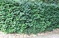 Diospyros whyteana Bladdernut tree hedge Cape Town.jpg