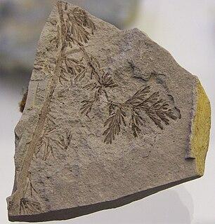 Lyginopteridales