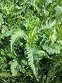 Dipsacus laciniatus sl11.jpg
