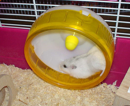 Djungarian Hamster Pearl White run wheel