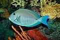 Doctorfish, Acanthurus chirurgus.jpg