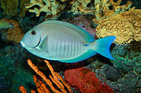 Doctorfish, Acanthurus chirurgus