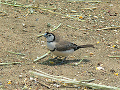 Double-barred finch444.jpg