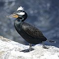 Double-crested Cormorant (49605889903).jpg