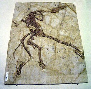 Dromaeosauridae - Dromaeosaurid fossil displayed in Hong Kong Science Museum.