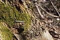 Droppings of siberian flying squirrel 3.jpg