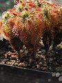 Drosera lasiantha 2.jpg