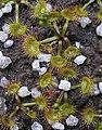 Drosera peltata basal rosette.jpg