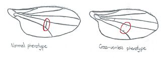 Genetic assimilation -  Normal and cross-veinless Drosophila wings