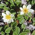 Dryas octopetala var. asiatica (flower s3).jpg