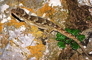 Biodiversity of New Caledonia - Many current species in the vicinity of the Pacific Island region similar to New Zealand's geckos, such as the Duvaucel's gecko, may have had their origins in New Caledonia.