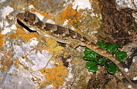 New Zealand's geckos, such as the Duvaucel's gecko, may have had their origins in New Caledonia although Australia is implicated in recent phylogenetic work. Duvaucel's gecko.JPG