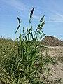Echinochloa esculenta sl2.jpg