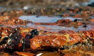 <i>Echinolittorina meleagris</i> species of mollusc