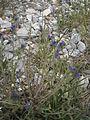 Echium lycopsis 001.JPG