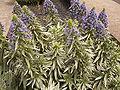Echium webbii (Puntallana) 01.jpg