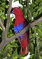 Eclectus roratus Female Papua New Guinea by Nick Hobgood.jpg