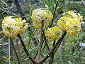 Edgeworthia chrysantha (16637751025).jpg