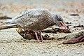 Eismöwe (larus hyperboreus), 2. Kalenderjahr, frisst toten Seehund (phoca vitulina) - Spiekeroog, Nationalpark Niedersächsisches Wattenmeer.jpg