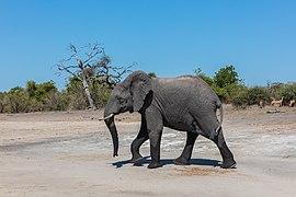 Elefante africano de sabana (Loxodonta africana), parque nacional de Chobe, Botsuana, 2018-07-28, DD 18.jpg