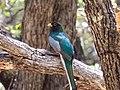 Elegant Trogon (male) Upper Huachuca Canyon Sierra Vista AZ 2018-08-05 11-44-38 (43106620665).jpg