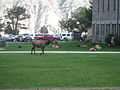 Elk on Mammoth Hot springs.jpg