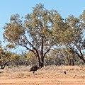 Emu Burke River floodplain Boulia Shire Queensland P1060873.jpg