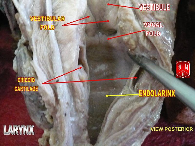 Endolarynx vocal folds.jpg