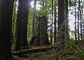 Ent in Arcata Community Forest - panoramio.jpg