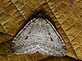 Epirrita autumnata - Autumnal moth - Ларенция осенняя (27070932298).jpg