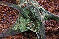 Epping Forest High Beach Essex England - lichen on rotting tree stump.jpg