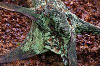 Epping Forest High Beach Essex England - lichen on rotting tree stump.jpg