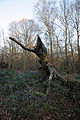 Epping Forest High Beach Waltham Abbey Essex England - tree stump 01.jpg