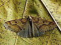 Erannis defoliaria ♂ - Mottled umber (male) - Пяденица-обдирало (самец) (46530921032).jpg