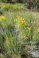 Ericameria nauseosa kz05.jpg
