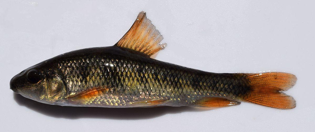 Erimyzon Oblongus