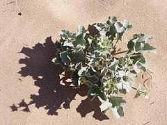 Eryngium maritimum 1.jpg