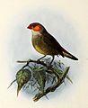 Estrilda melpoda 1876.jpg