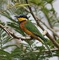 Ethiopian Bee-eater (cropped).jpg