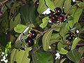 Eugenia brasiliensis2.JPG