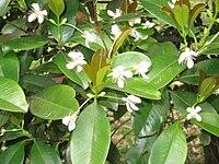 Eugenia brasiliensis - Jardim Botânico de São Paulo - IMG 0398