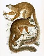Eulemur fulvus mayottensis 1868.jpg