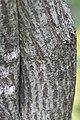 Euonymus europaeus 9948.jpg