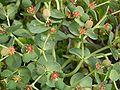 Euphorbia myrsinites 7.jpg