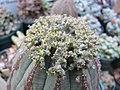 Euphorbia obesa (6970161842).jpg